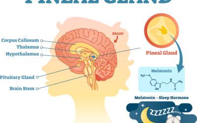 De pijnappelklier of de epifyse